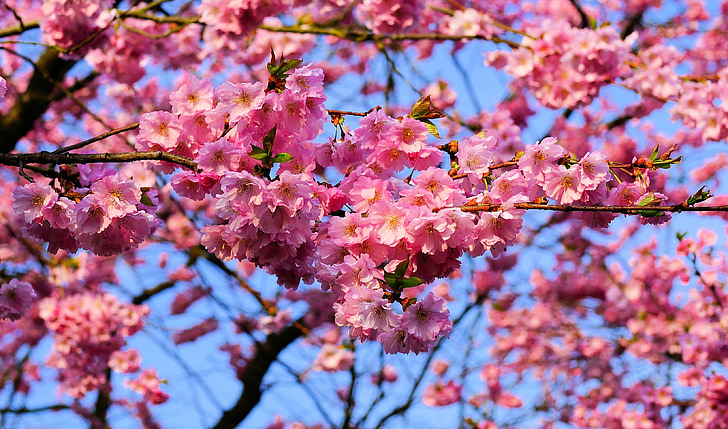 cherry blossoms during daytime