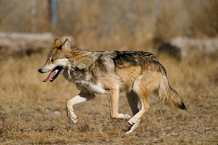 selective focus photography of wolf dog at daytime