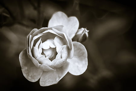 white flower closeup sepia photography