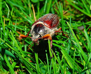 closeup photo of brown June beetle on grass at daytime