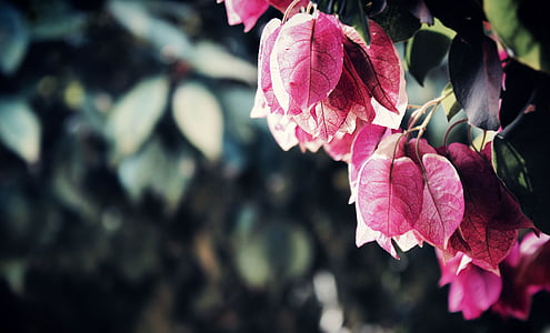 closes up photography of bougainvillea flower