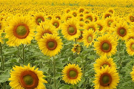 sunflower field at daytime
