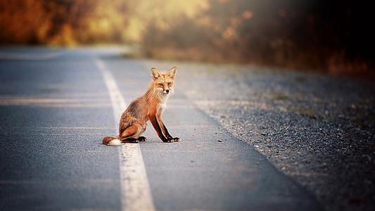 red fox on asphalt road