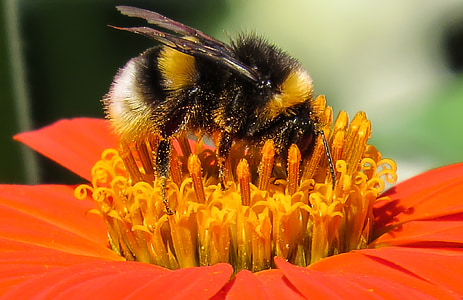 macro photography of honey bee on top of flower