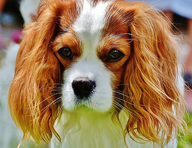 selective focus photography of white and brown King Charles spaniel