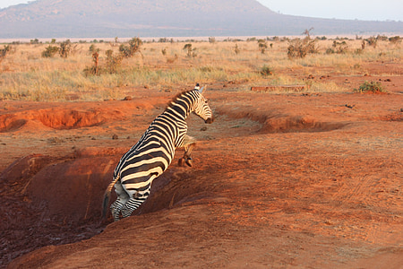 zebra jumping from hole at daytime