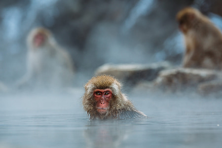 selective photography of red-faced monkey on body of water