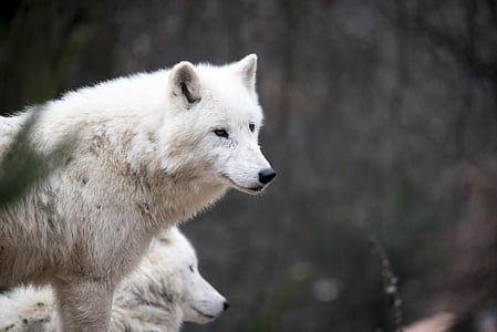 closeup photo of white wolf