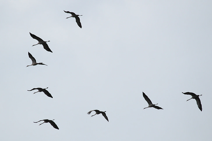 low angle photography of flock of flying geese
