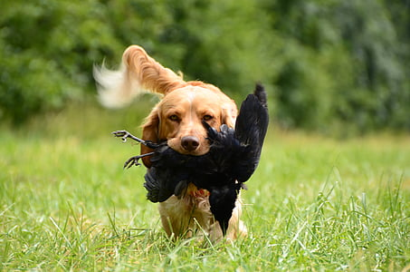 golden retriever carrying black bird while walking on grass field during daytime