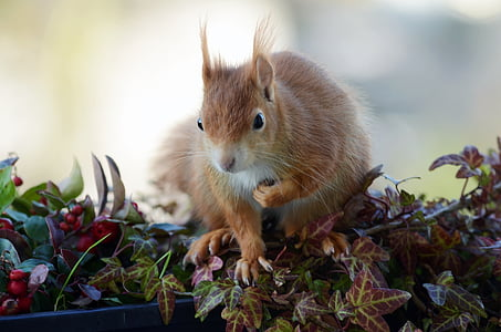 selective focus photography of red squirrel on purple leaves
