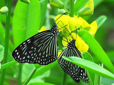 closeup photography of two black-and-white striped butterflies on pink petaled flower