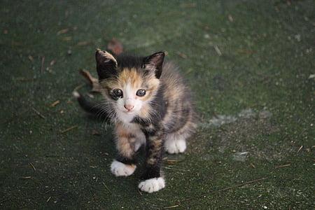 calico kitten on green grasses