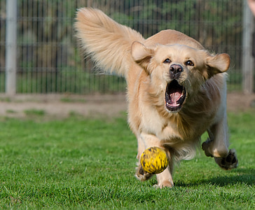 adult golden retriever running on green grass with yellow ball
