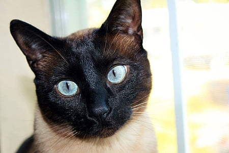 close view of Siamese cat