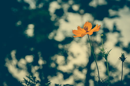 orange coreopsis flower in selective focus photography