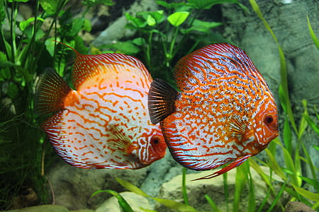 two orange-and-beige discus fish