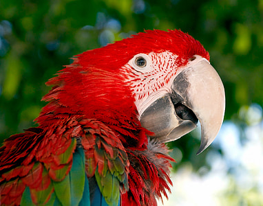 close-up photography of blue and red macaw