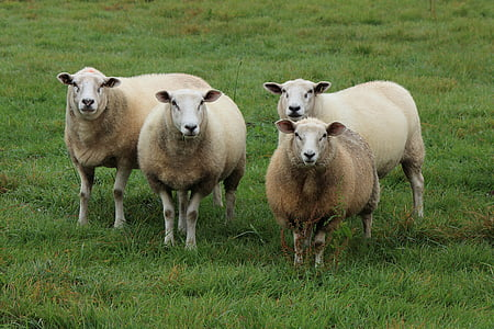 four sheep on green grass field