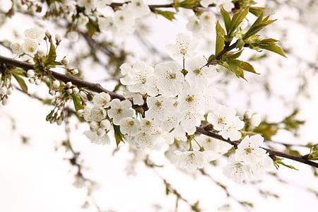 macro photography of white cherry blossom flower