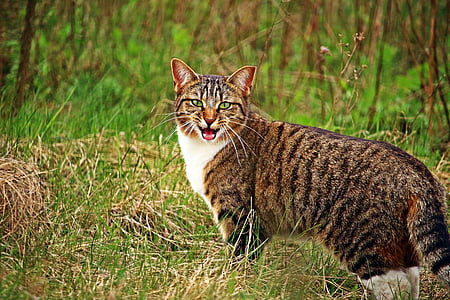 closeup photo of wild cat on green grass