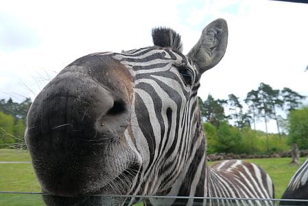 zebra behind fence