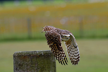 flying brown barn owl