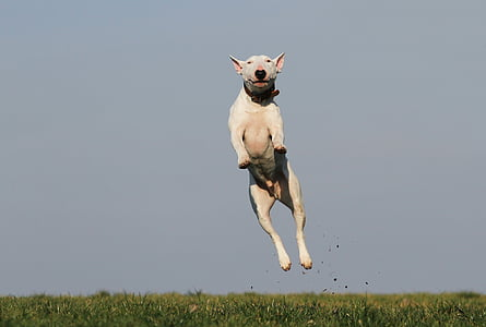 adult white bull terrier jumping on grass field at day time