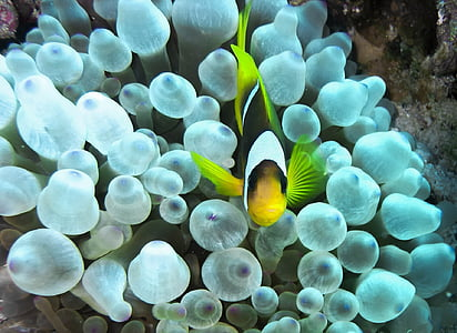 yellow and black fish swimming above a white coral