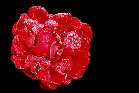 red rose with water droplets against black background in close-up photography