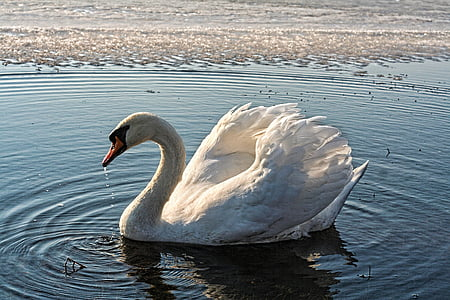 white swan swimming on water