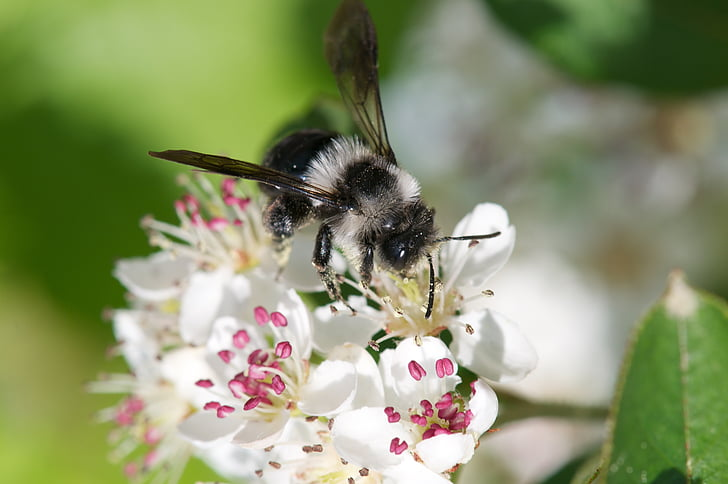 close-up photography of bee perching on white petaled flower