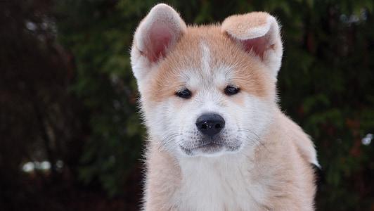 tan Akita puppy on focus photo