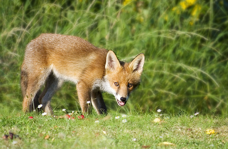 brown fox on grass field
