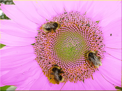 pink cosmos flower with three bees