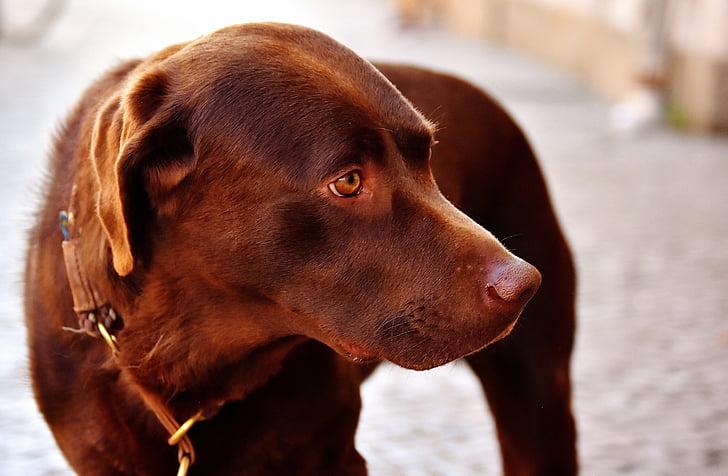 adult chocolate Labrador retriever
