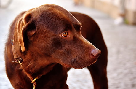 adult chocolate Labrador retriever