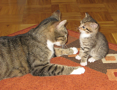brown tabby kitten and tabby cat on top of orange and brown rug