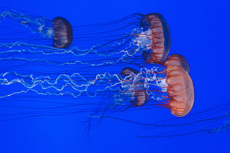 school of orange jellyfishes