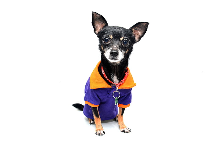Wonderful Chihuahua Canine Adorable Dog - dog-chihuahua-animal-pet-preview  Gallery_968830  .jpg