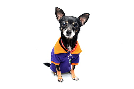 dog wearing purple shirt photograph
