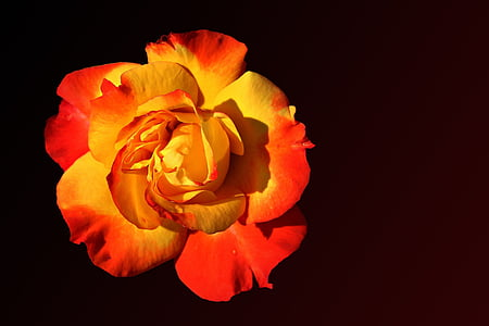 close-up photography of red and yellow rose