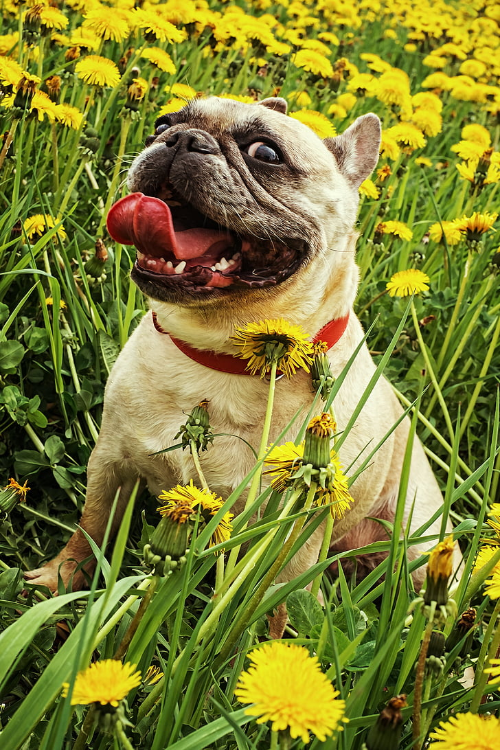 fawn pug surrounded by yellow petaled flowers