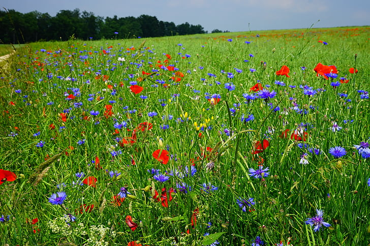 red poppy flower and blue cornflower field