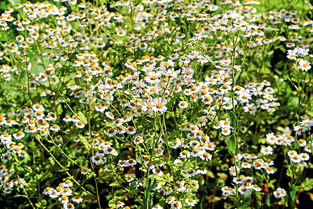 white chamomile flower field
