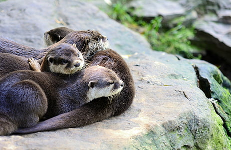 herd of otters laying on brown rock during daytime