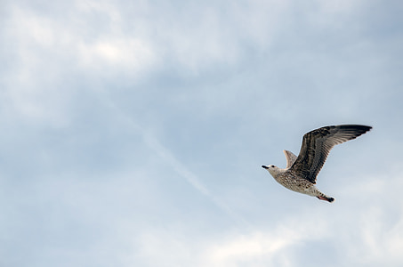 low angle photo of black-billed gull flying under the sky