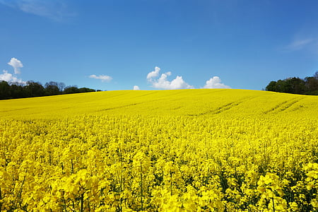 rape blossom, field of rapeseeds, oilseed rape, landscape, yellow, blossom