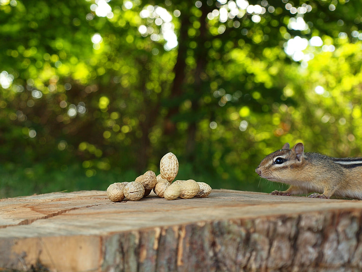 selective focus photography of brown walnuts and brown squirrel during daytime