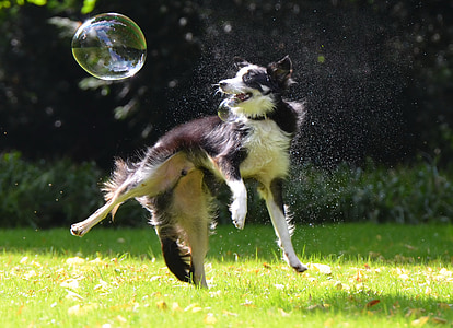 adult black and white border collie playing with bubbles